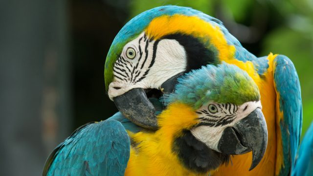 Macaws couple 4