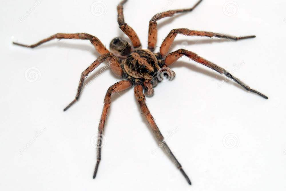 http://www.dreamstime.com/royalty-free-stock-image-hairy-wolf-spider-image13851966